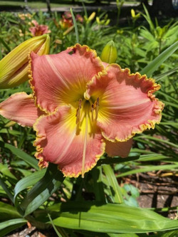 Day lily 3
