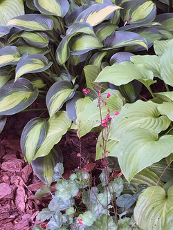 Hosta and Coral Bells