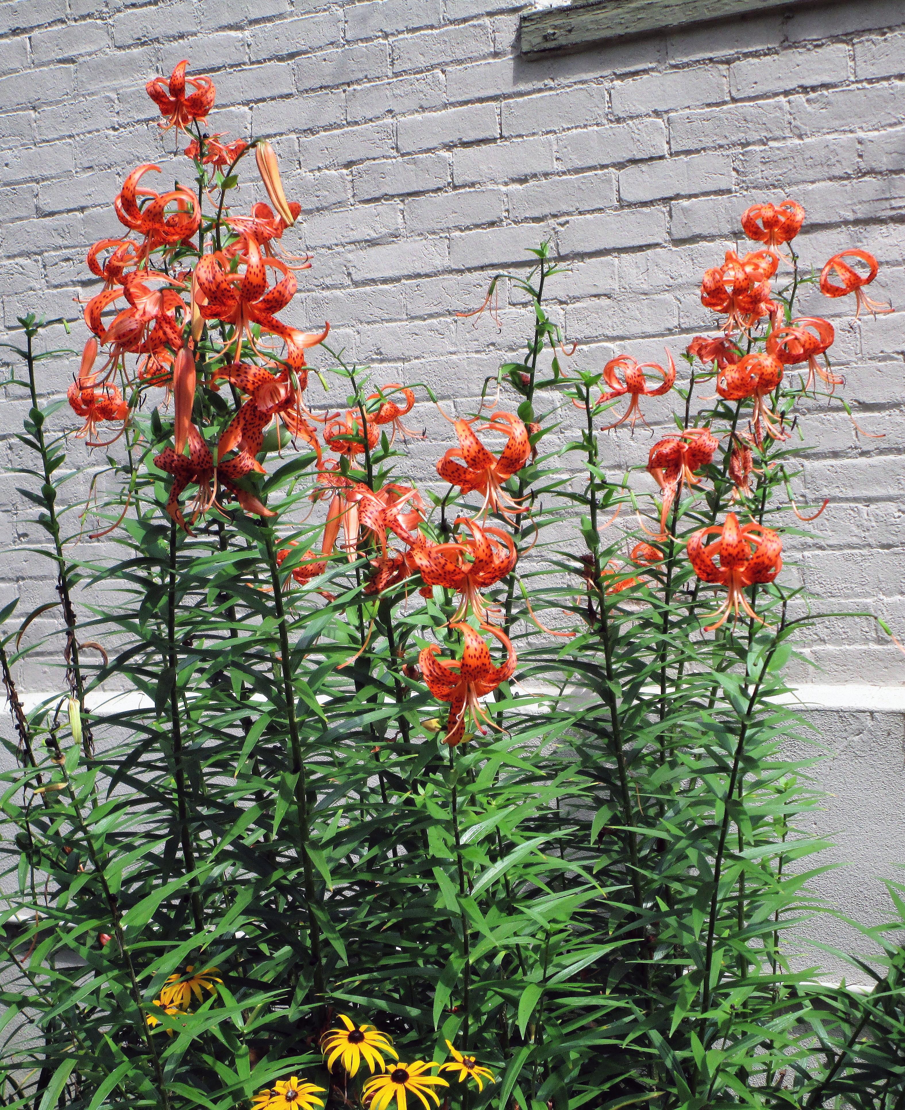 Turk's Cap Lillies