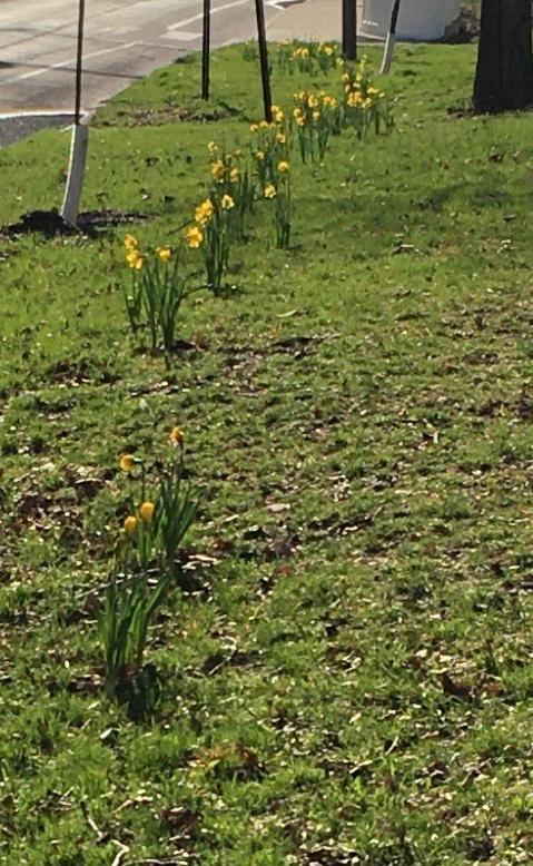 Daffodils 3