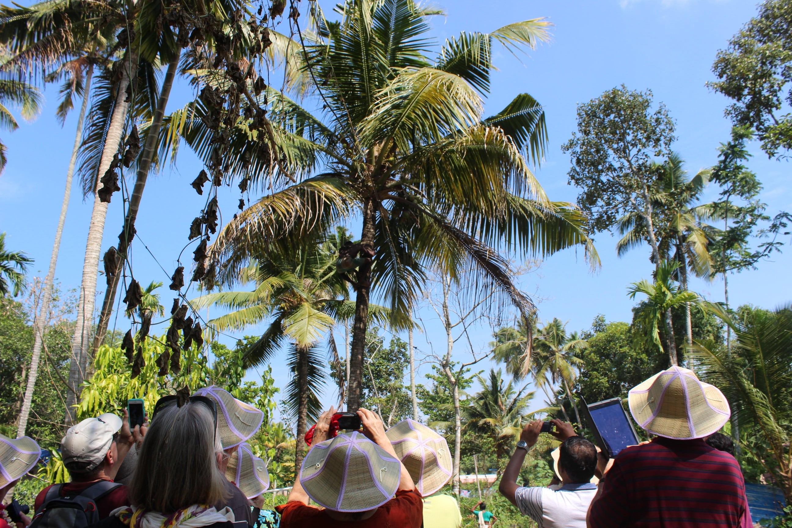 Climbing cocunut tree