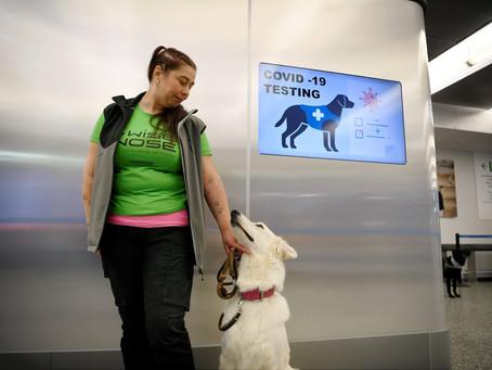 Perros entrenados para detectar COVID.