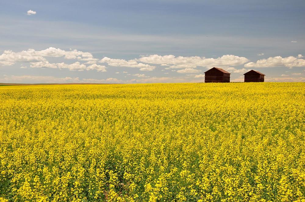 GMO Canola Field