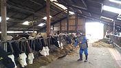 voeren van de koeien bij van loons hoeks