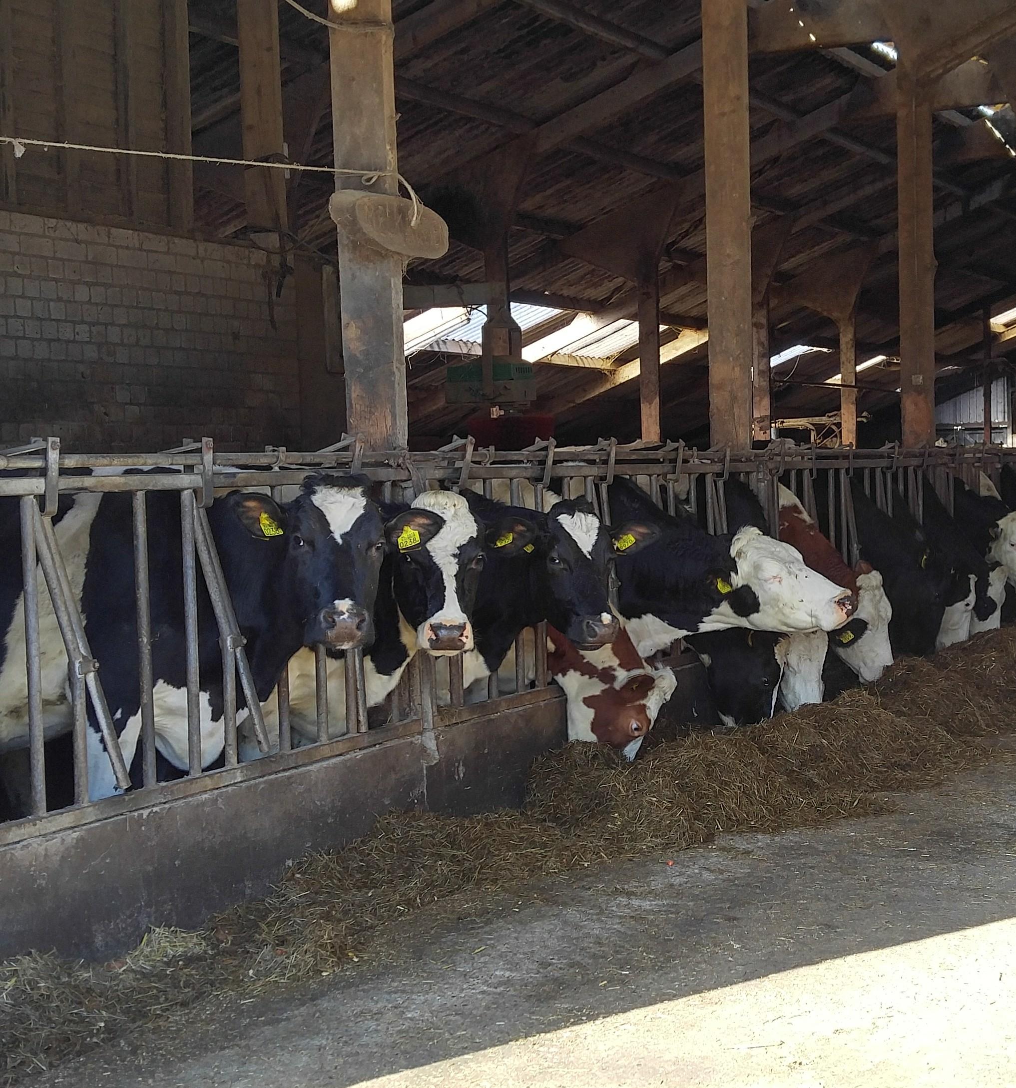 de koeien can van loons hoekske heten u