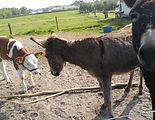 ezels en kalfjes bij zorgboerderij kaats
