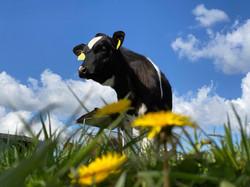 knappe koe zorgboerderij kaatsheuvel