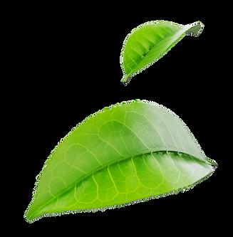 2 hojas.png