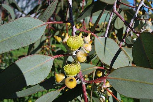 hoja de eucalipto