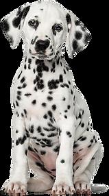 kisspng-dalmatian-dog-puppy-pet-labrador