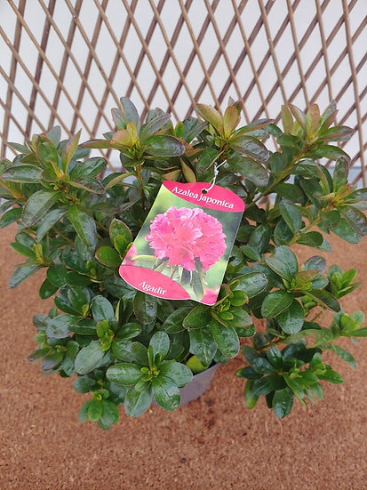 "Azalea Japonica ""Agadir"""