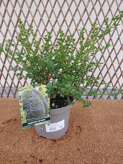 """Ceanothus """"Victoria"""" Californian Lilac"""