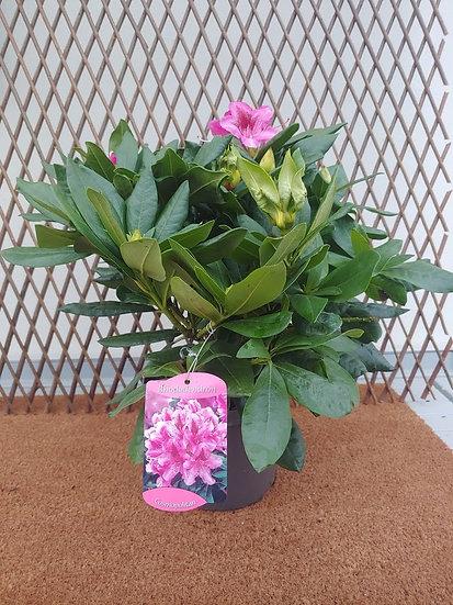 """Rhododendron """"Cosmopolitan"""""""
