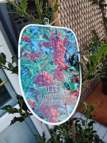 """ILEX aquifolium """"Alaska"""""""