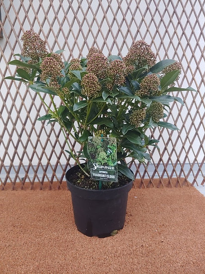 "Skimmia Japonica ""Fragrant Cloud"""