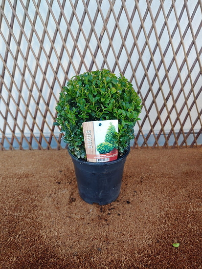 Buxus Ball Small