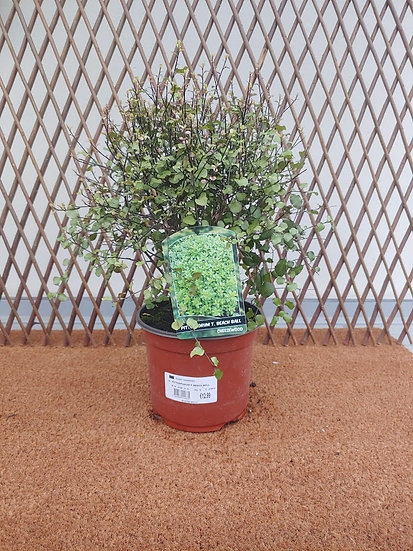 "Pittosporum T ""Beach Ball"""