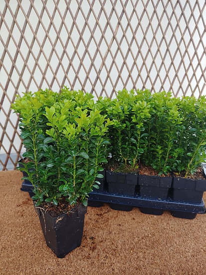 Boxwood/Buxus hedging Small