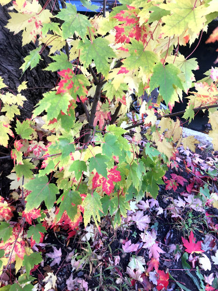 érable_feuilles.jpg
