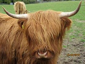 V cow 2.JPG