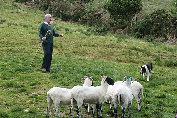 14 Kerry berger, chien, moutons.jpg