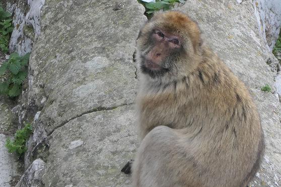 V macaque.jpg