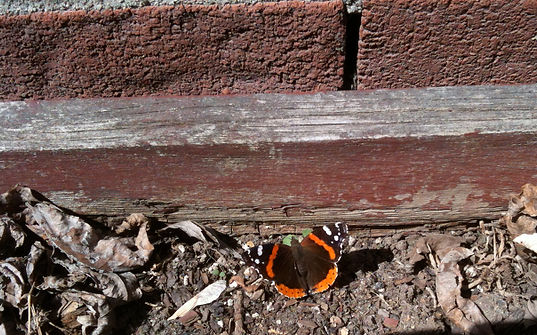 papillon bas mur SW.jpg