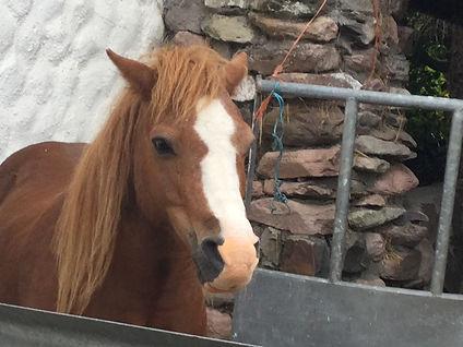 14 Kerry bog pony.jpg