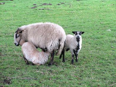 V Denton moutons.JPG