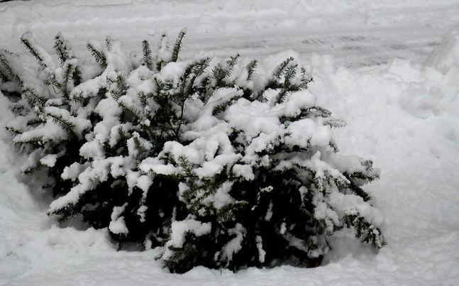 neige sapin.jpg