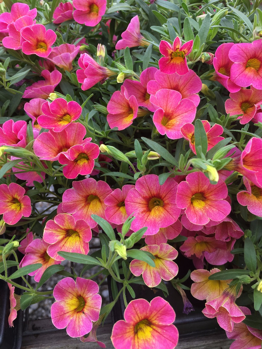 Calibrachoa Hot Pink with yellow throat