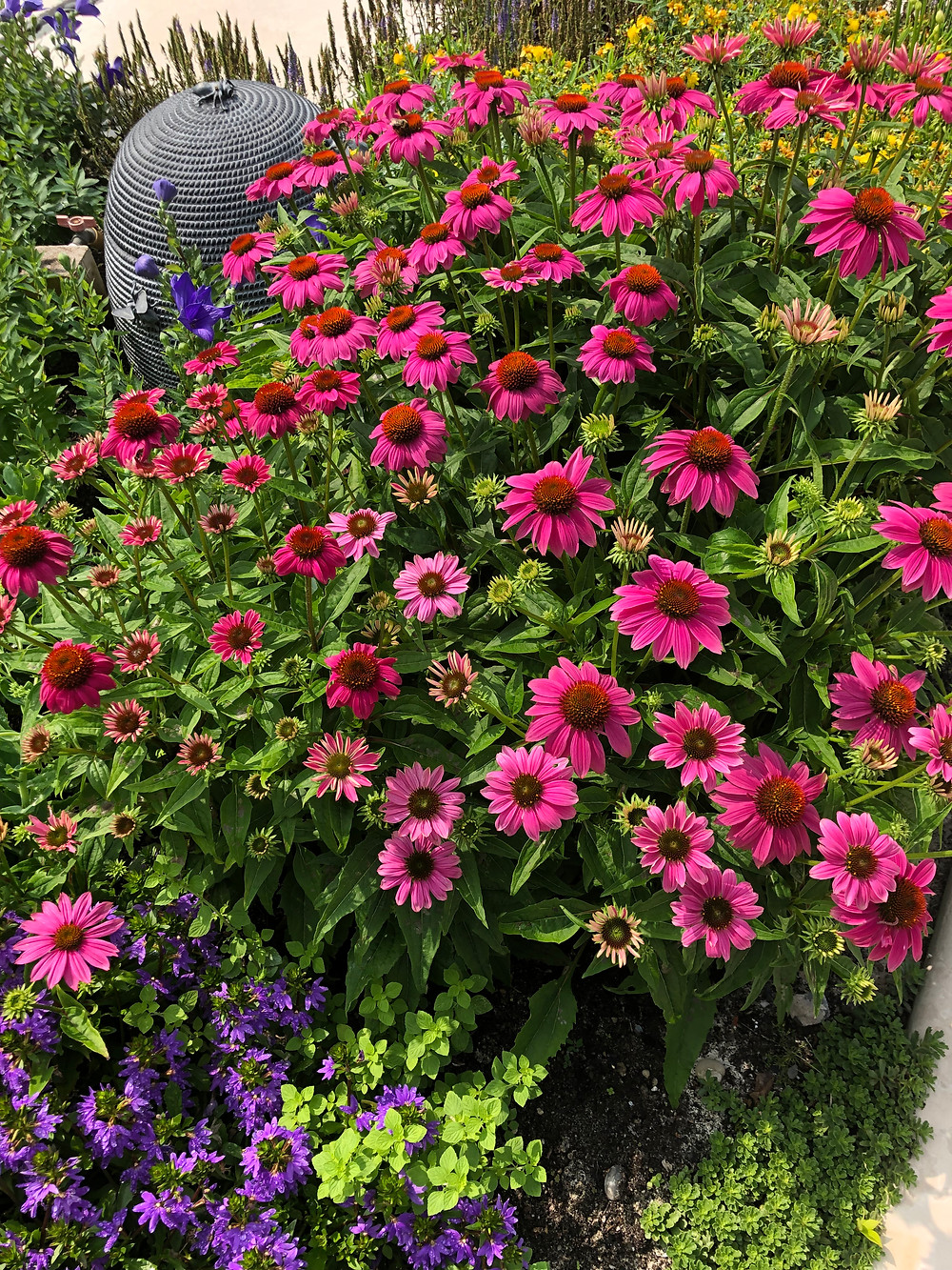 "Echinacea ""Pow Wow Pink'"