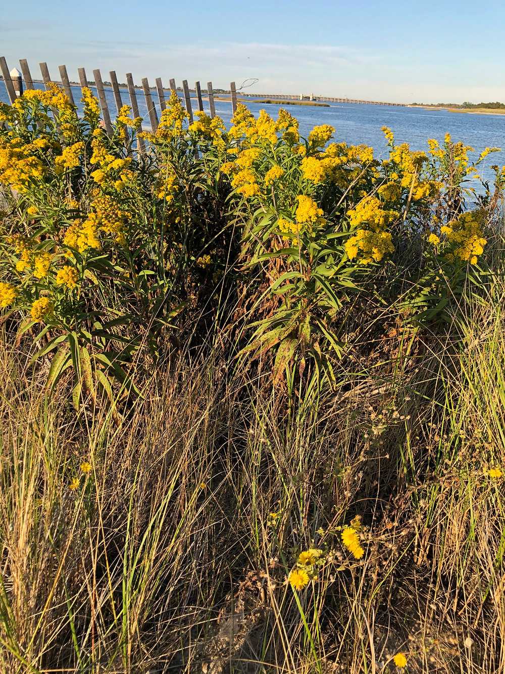 Solidago and Ammophilia at West End Beach