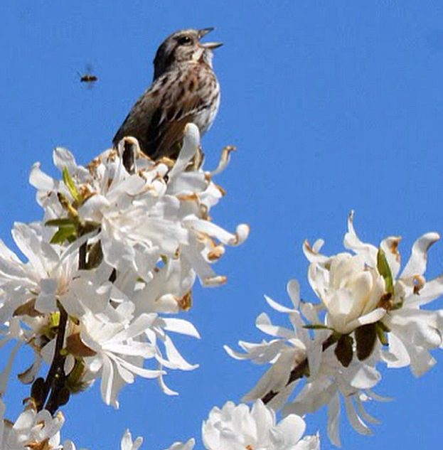 Sparrow perched on Star Magnolia