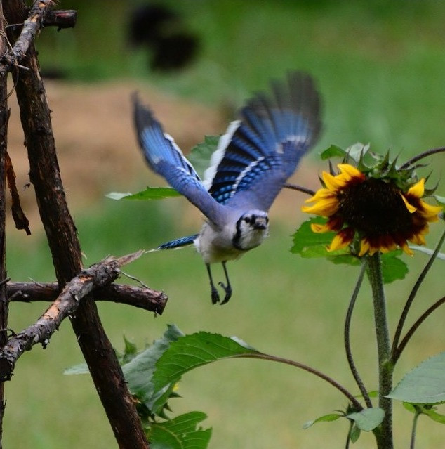 Blue Jay swoops in for Sunflower seeds