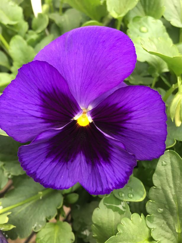 Pansies? Or Violas?