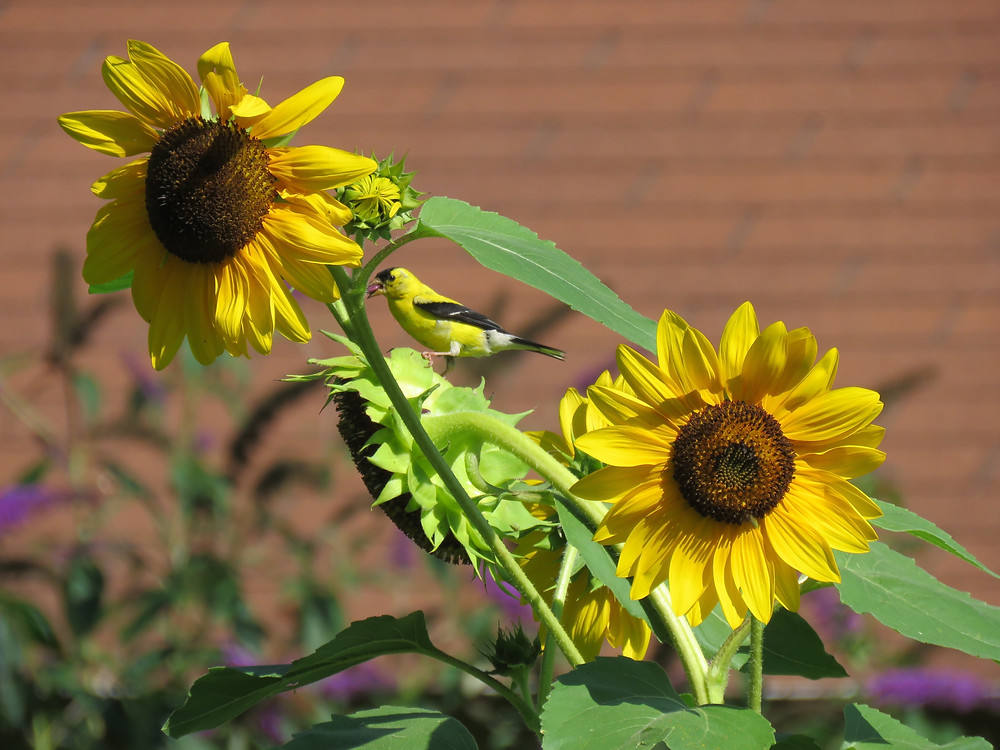 Gold Finch visits Sunflower