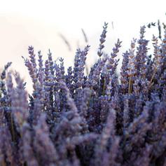 sanrotini_lavender_wedding (32).jpg
