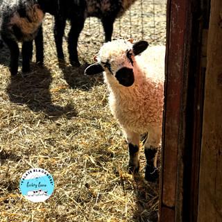 sheep44201.jpg