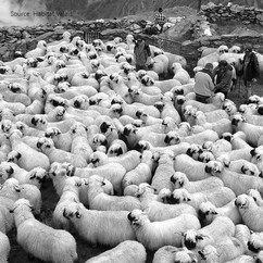 Valais Herd