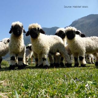 Valais lambs 4