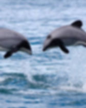Hectors dolphins live in Akaroa Harbour and are well worth viewing. You can book a trip to see them when you stay at French Bay House boutique bed and breakfast accommodation in Akaroa, Banks Peninsula, South Island, New Zealand. BnB. B and B. B&B. Bed&Breakfast. Bed & Breakfast