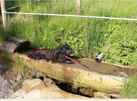 Erste Hilfe für Hunde bei Hitze