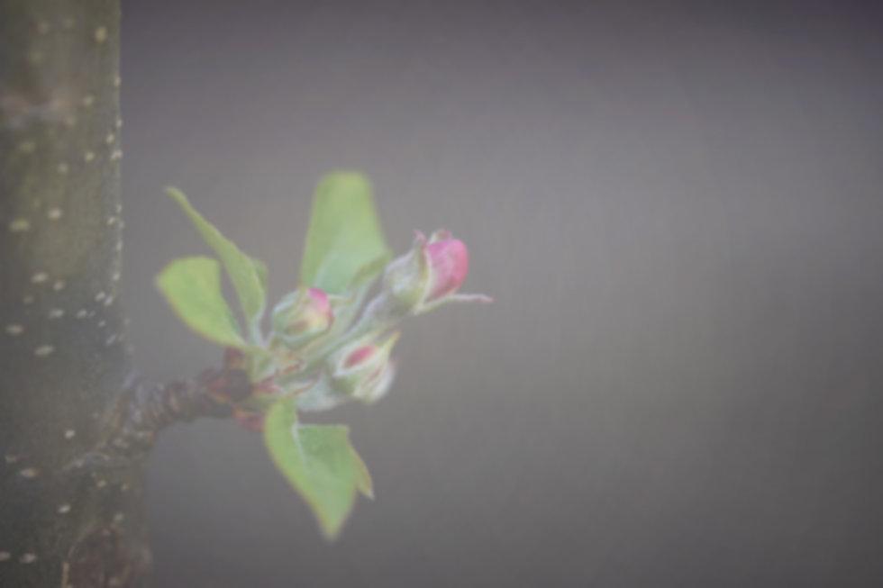 apple-blossom-5068473_1920 Edit.jpg