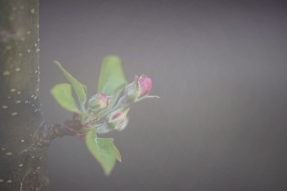 apple-blossom-5068473_1920 Edit.jpg
