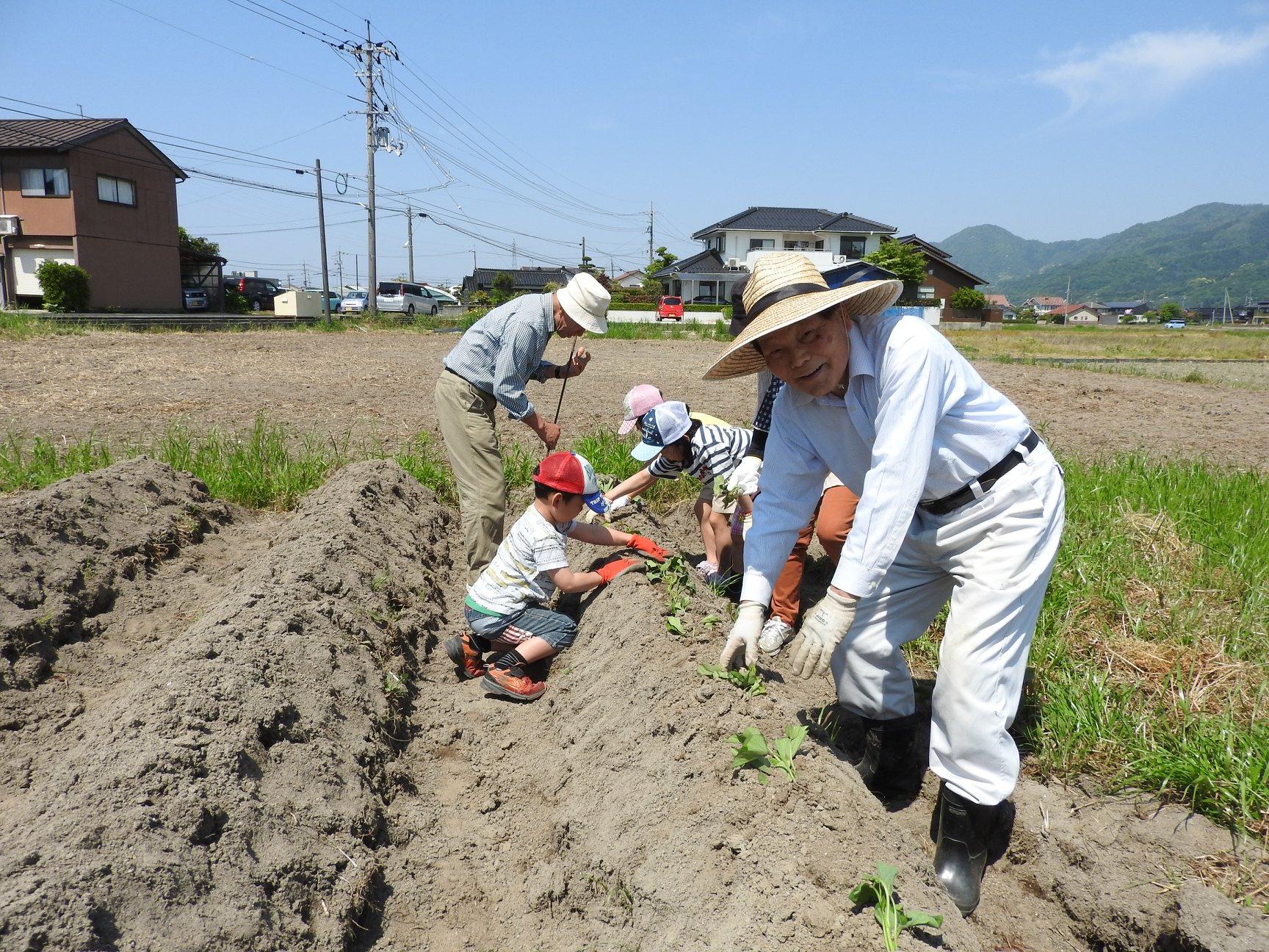 芋の苗植え2