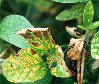 Fusarium - Doenças da Soja