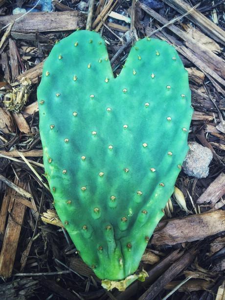 Cacti Medicine