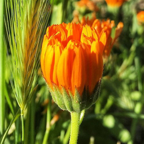 Grow Your Own Medicine Garden Video #1