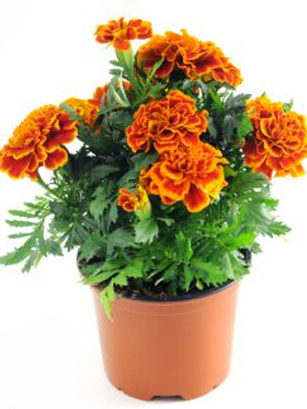 The October Marigold